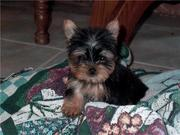 Teacup Yorkie Puppies For  Adoption to good homes