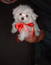 chunky maltese puppies ready