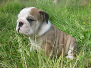Free Akc registered english bulldog puppies or adoption