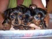 Adorable And Beautiful T-Cup Yorkie Puppies Ready for Xmas...(macknas2